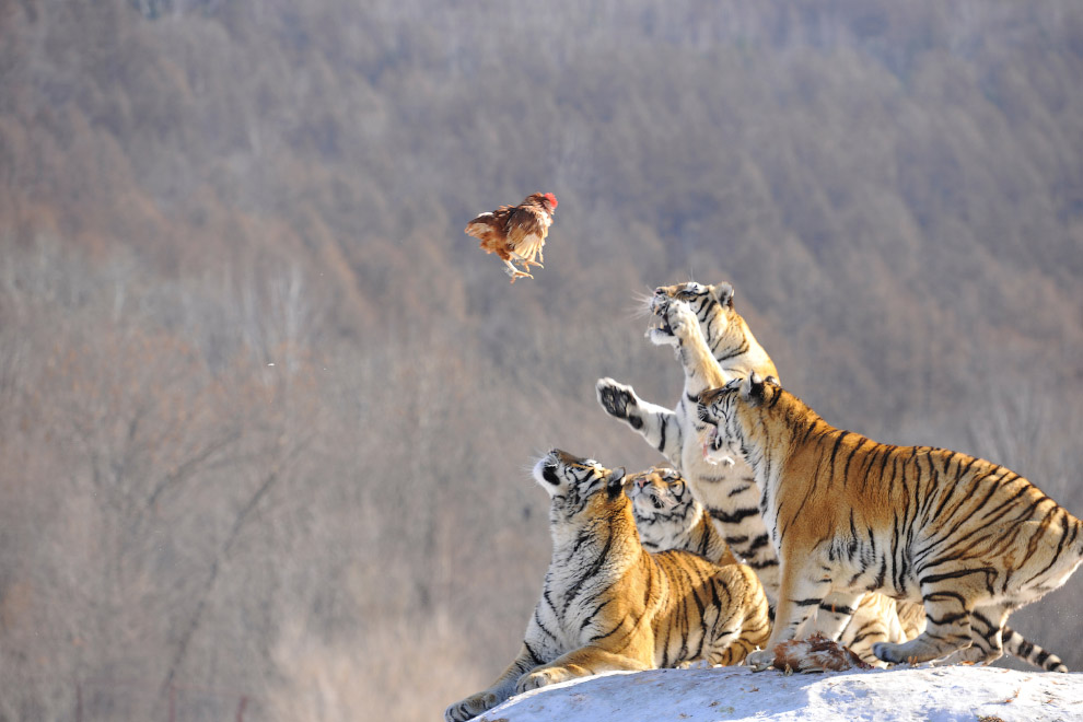 Кормежка амурских тигров