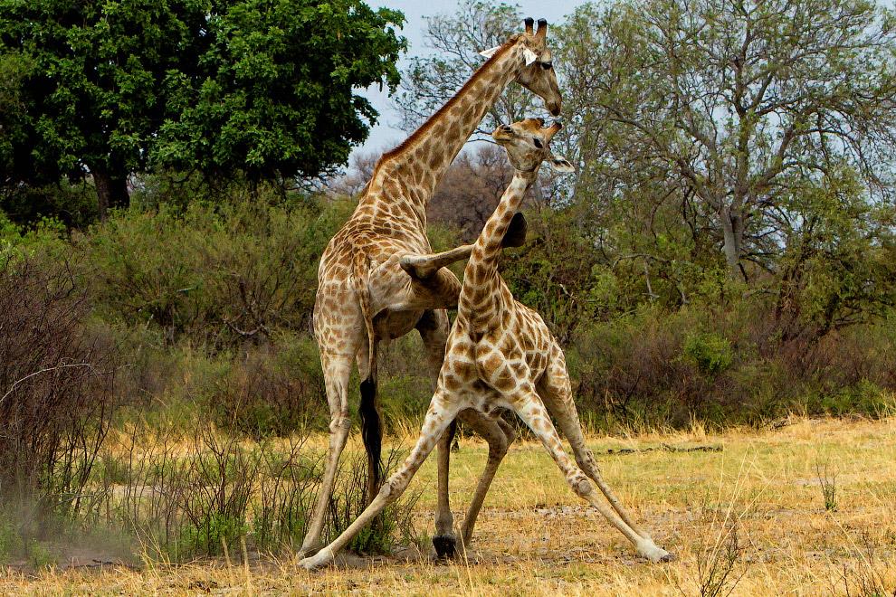 Кунг-фу жирафы