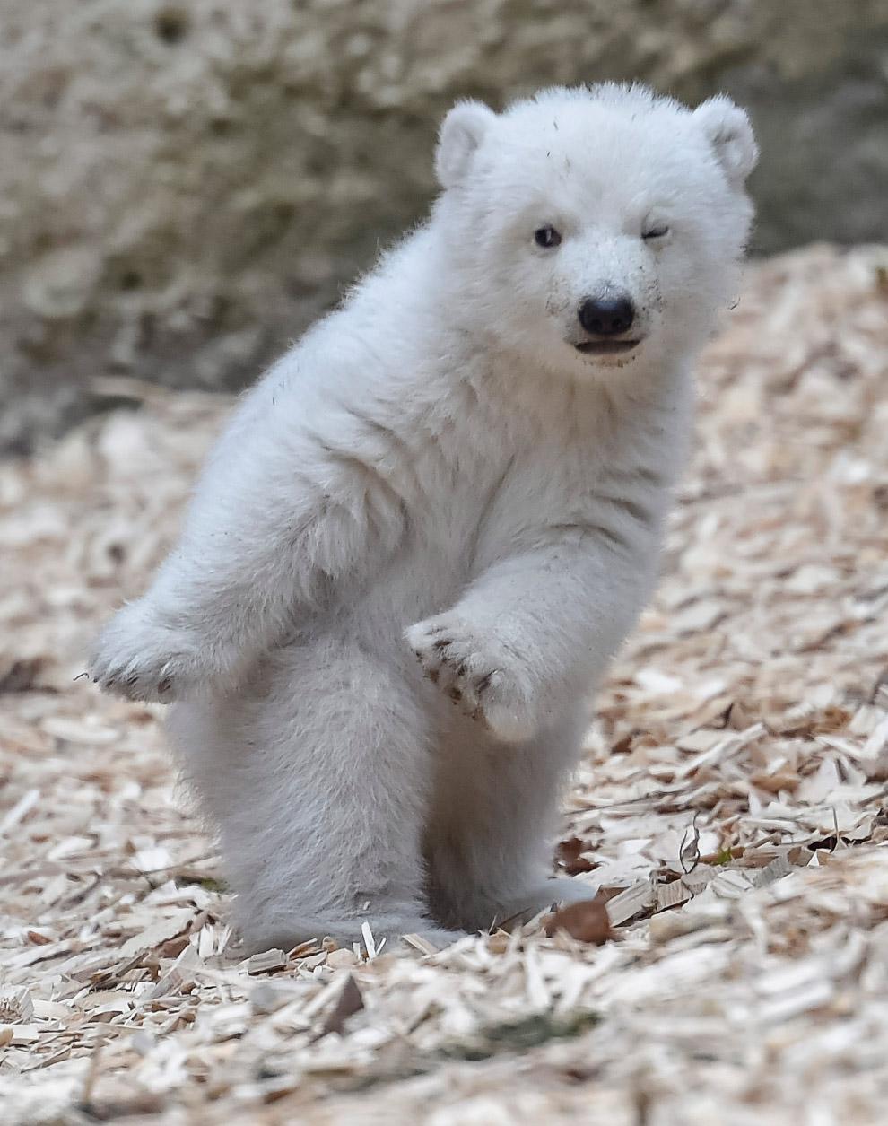 14-недельный белый медведь в зоопарке в Мюнхене