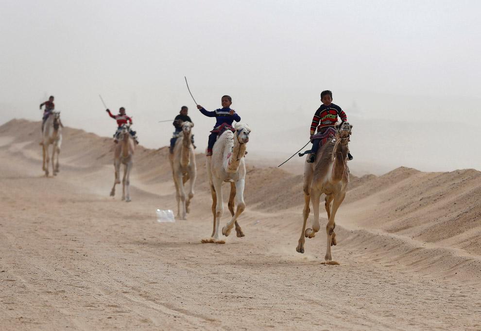 Скачки на верблюдах в Египте