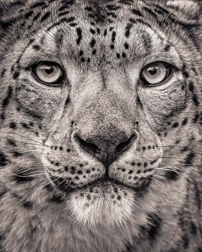 (FFV_004) Portrait of Snow Leopard