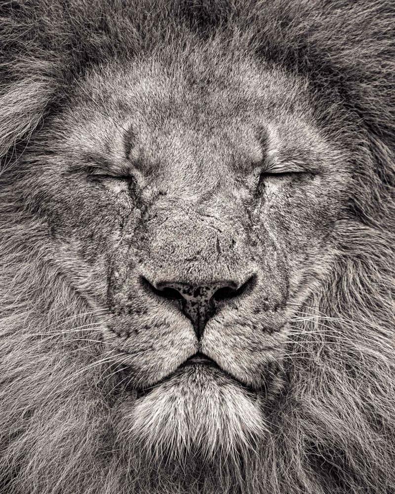Африканский лев.