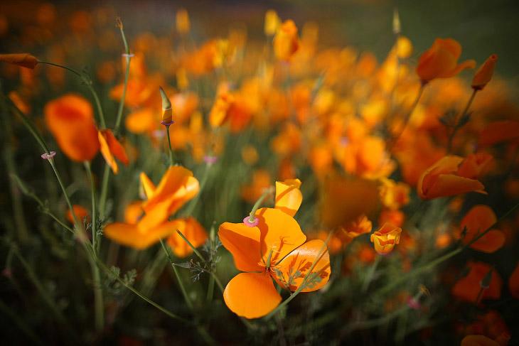 В 70 милях от центра Лос-Анджелеса появился ковер из ярких цветов, в основном оранжевых калифорнийских маков