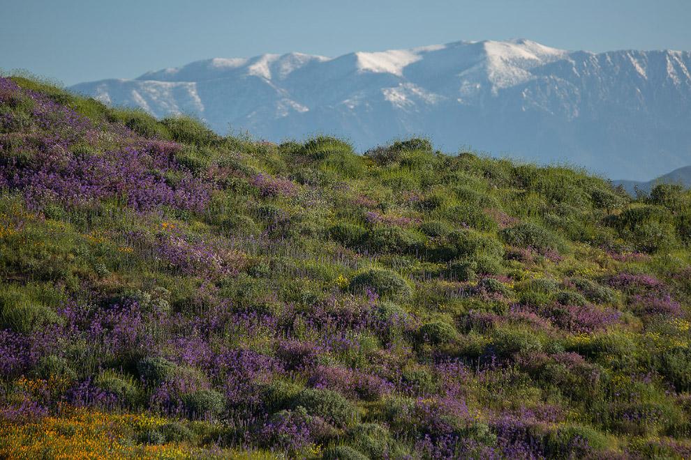 Полевые цветы на фоне гор в Калифорнии