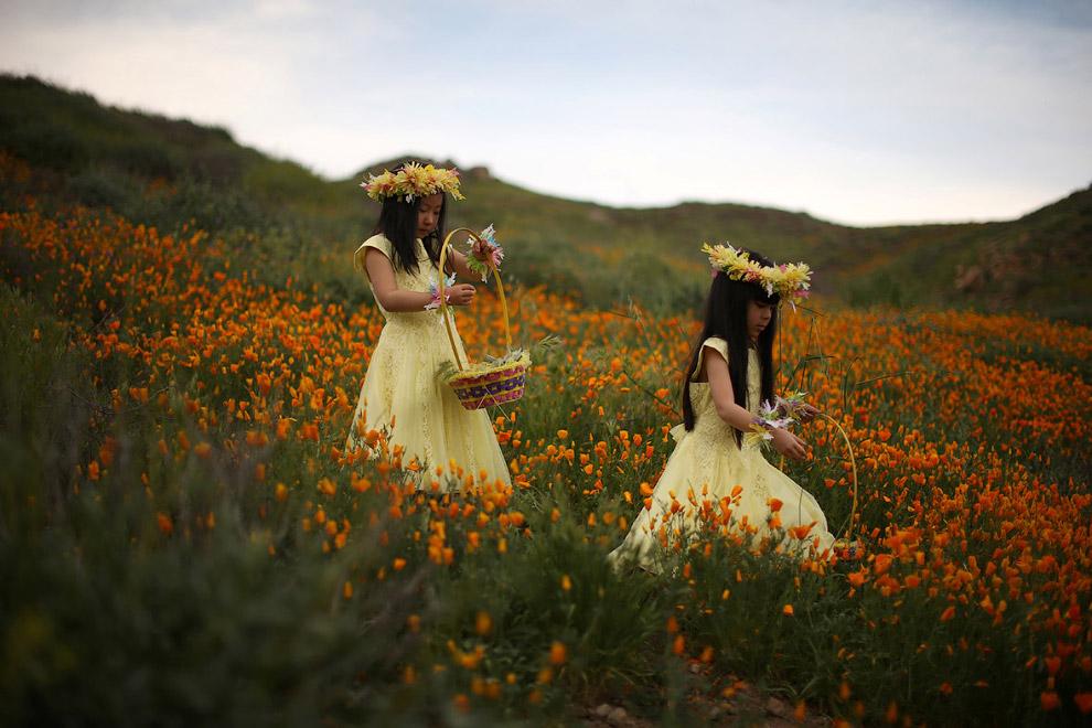 Калифорнийские маки