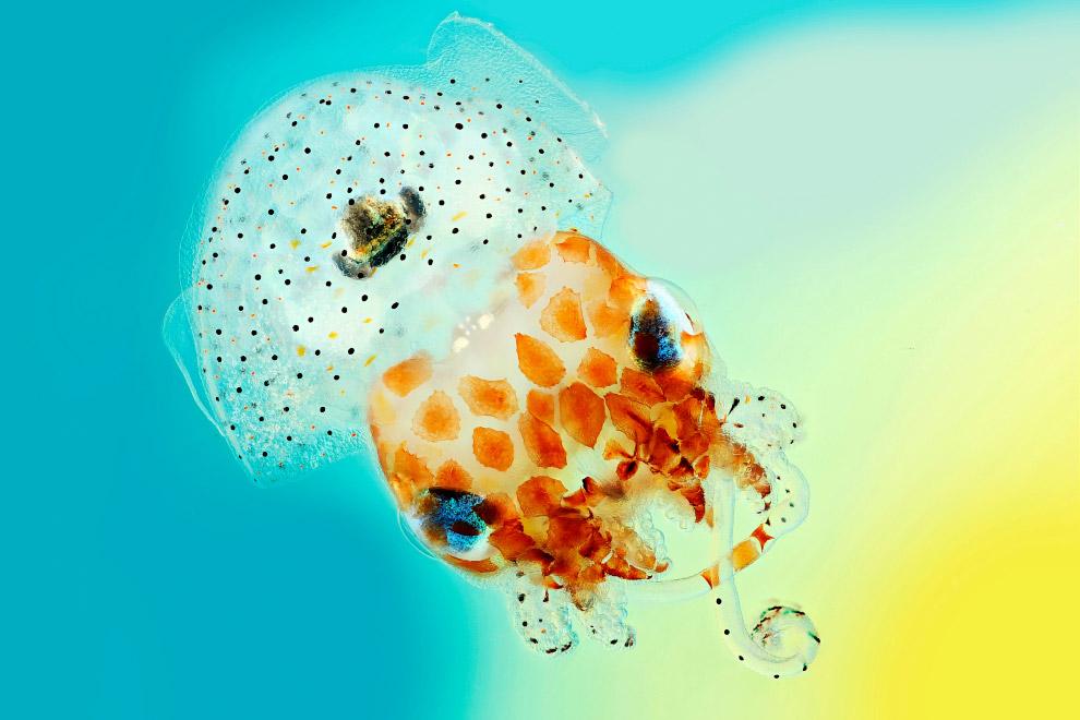 Гавайский кальмар бобтейл