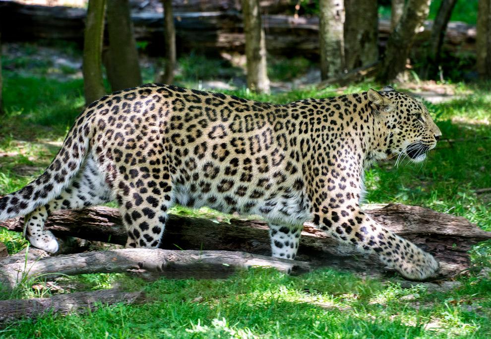 Переднеазиатский леопард (Panthera pardus ciscaucasica)