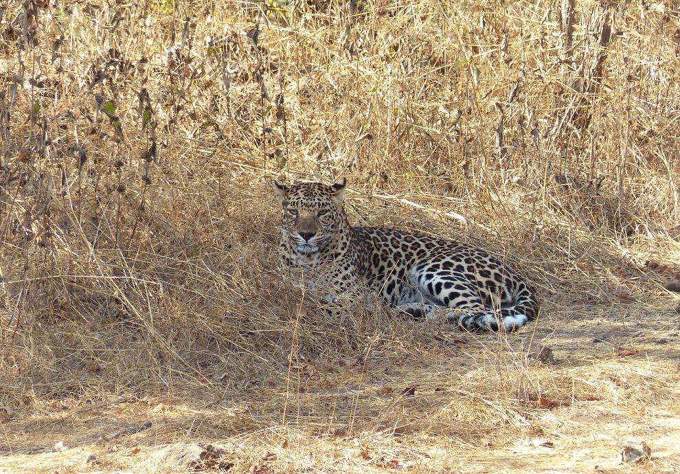 Индийский леопард