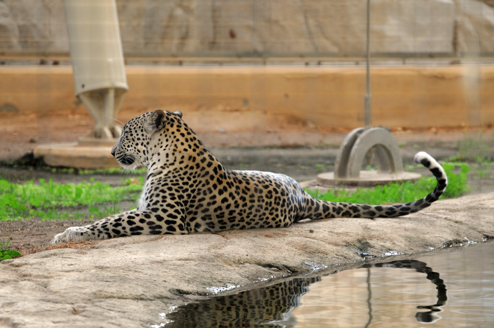 Аравийский леопард (Panthera pardus nimr)