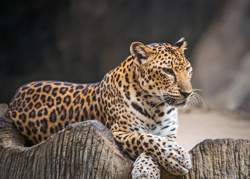 Индокитайский леопард