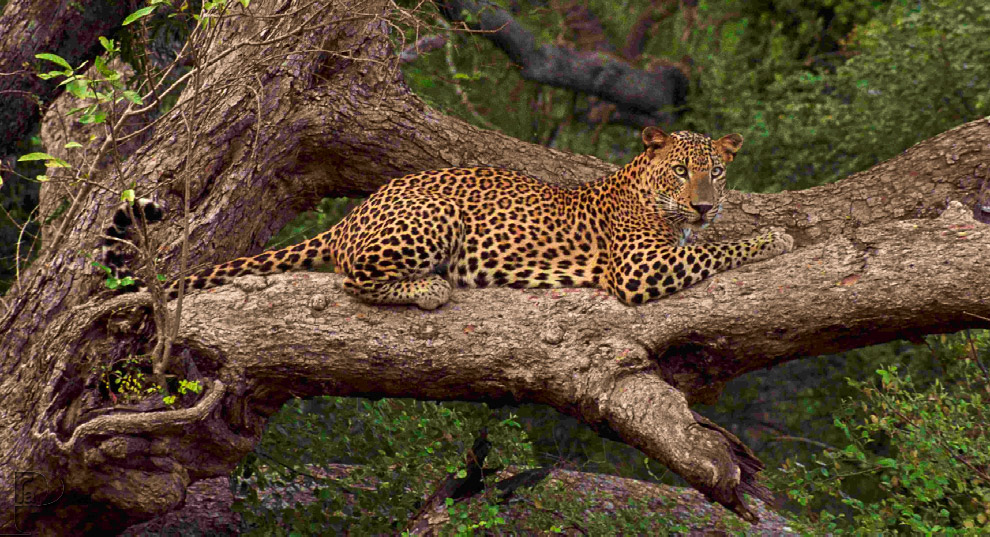 Цейлонский леопард (Panther pardus kotiya)