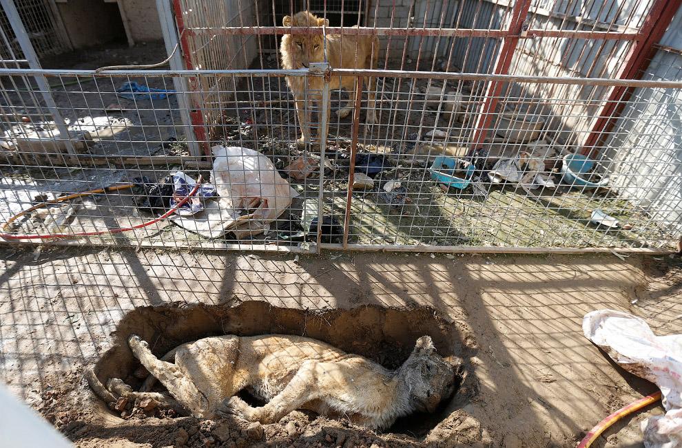 Подруга умерла. Умершую львицу положили в яму рядом со львом