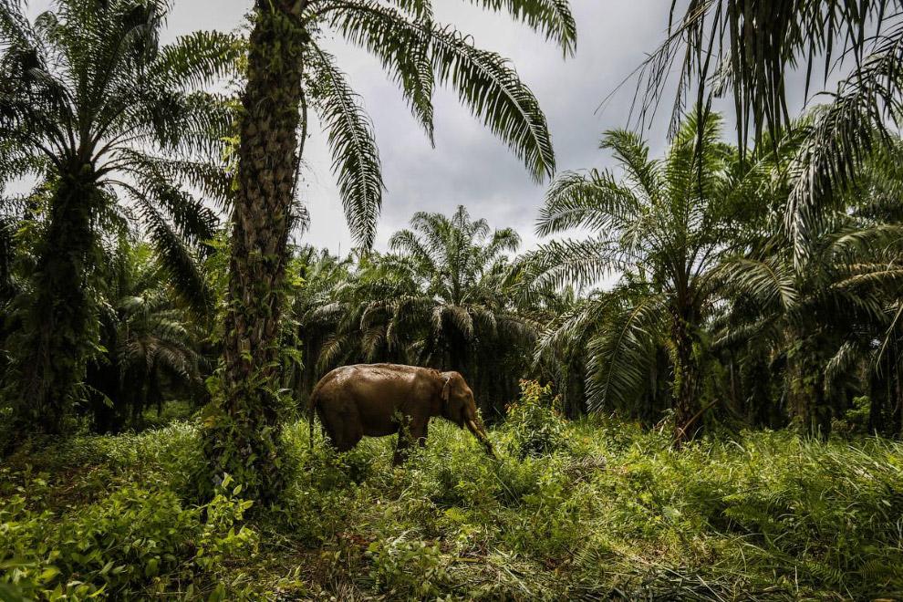 Слоны и масличные пальмы