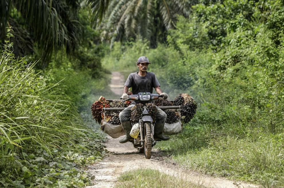 Работник пальмовой плантации в Индонезии везет урожай