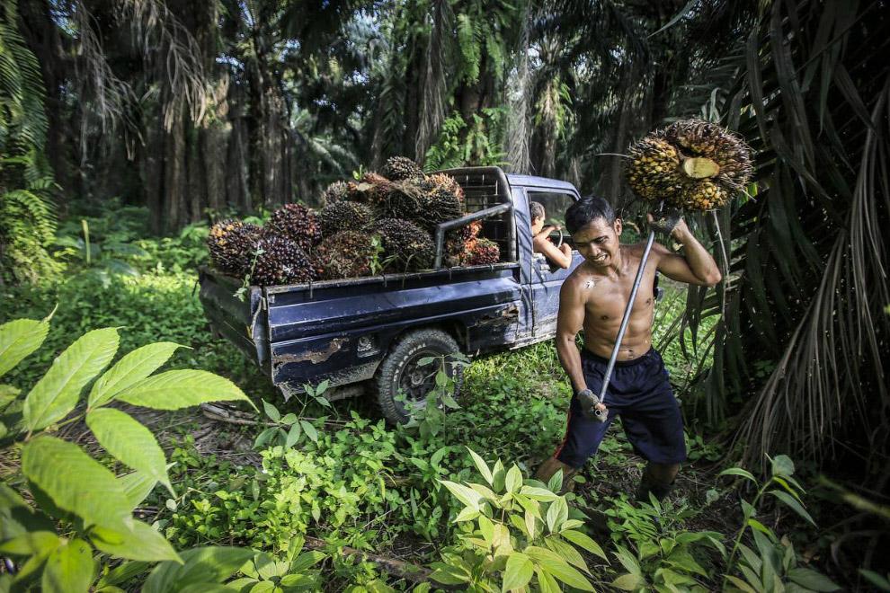 Как выращивают пальмовое масло