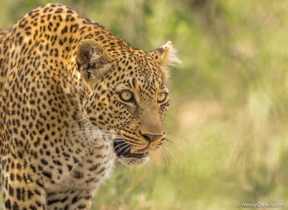 леопарды