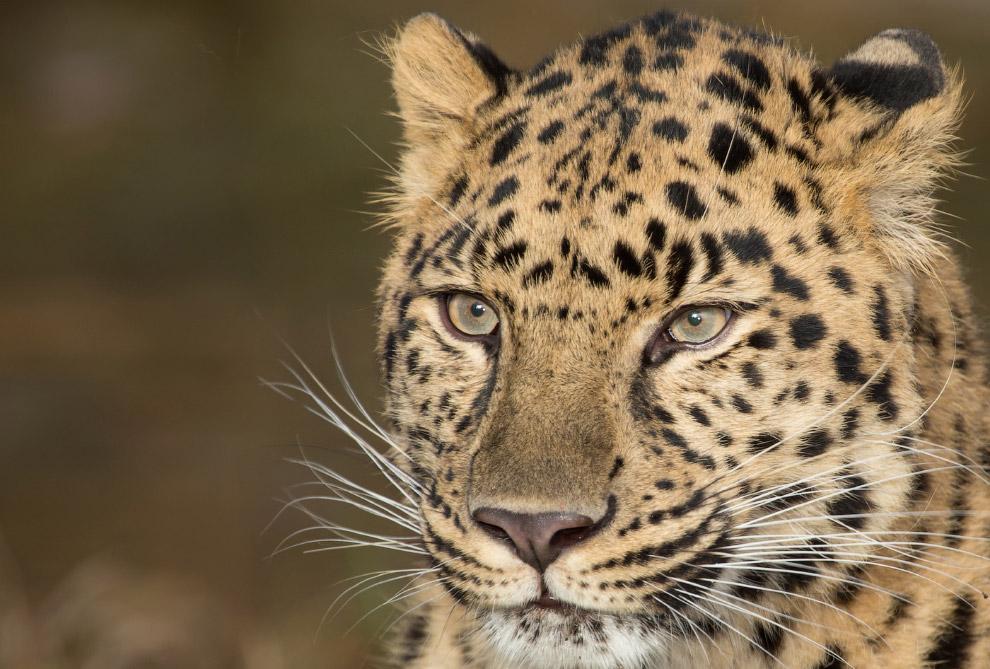 дальневосточный красавец леопард