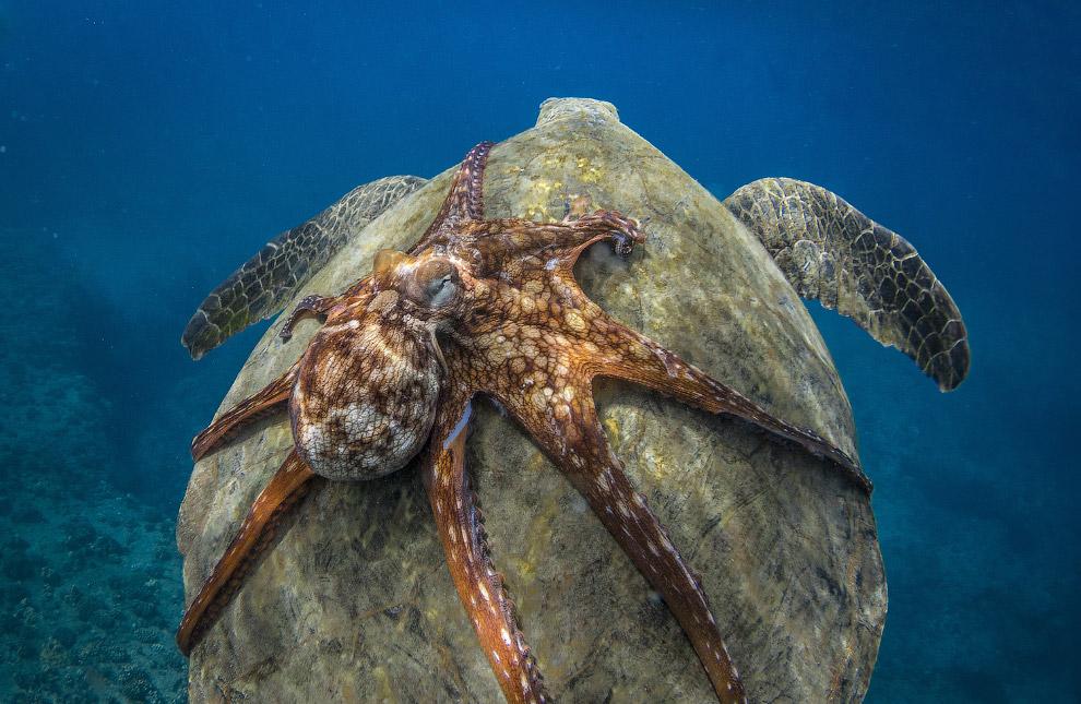 Осьминог катается на морской черепахе