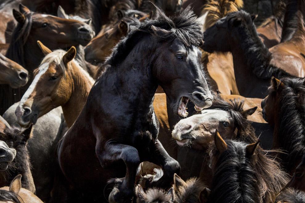 Табун полу-одичавших лошадей, которые живут в горах