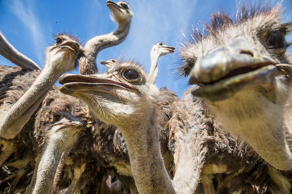 Стадо страусов
