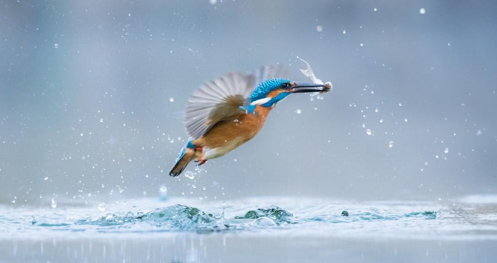 Удачная рыбалка обыкновенного зимородка