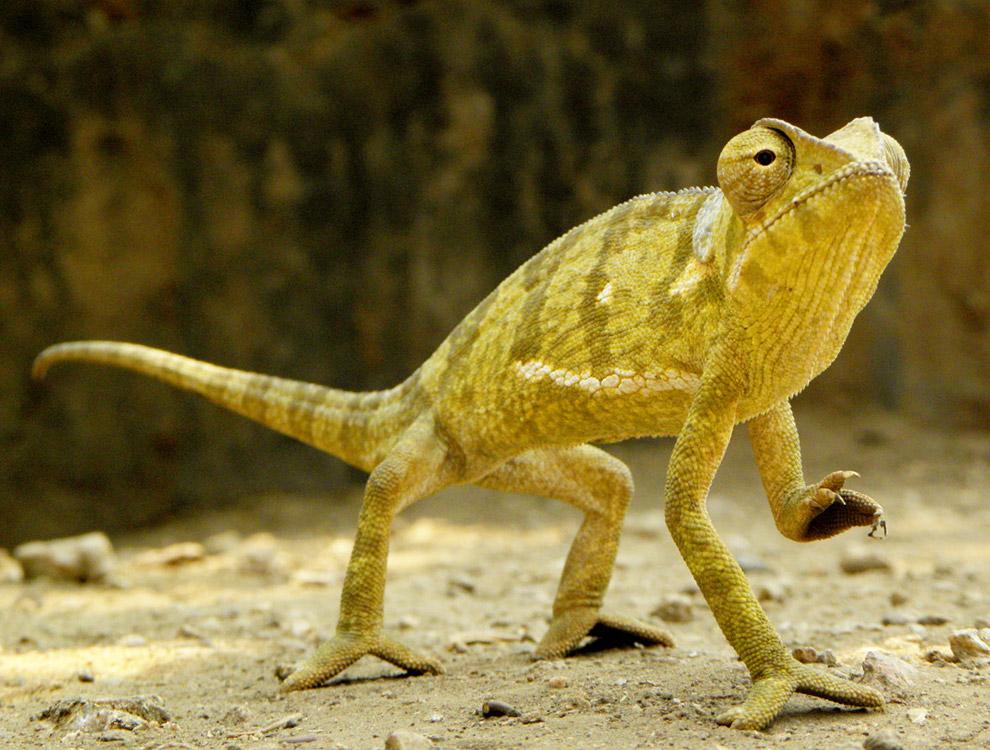 Хамелеон — ящерица