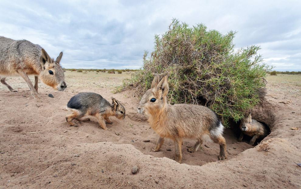 Патагонские зайцы из отряда грызунов