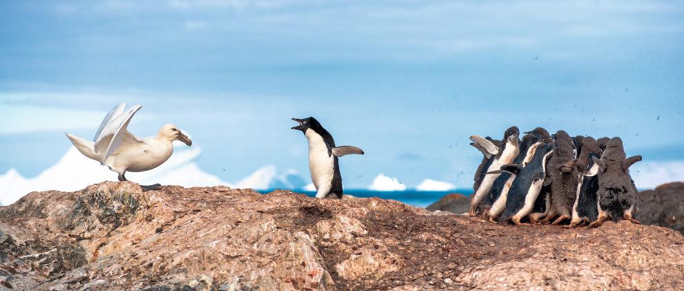 Защитник пингвинов, Антарктида