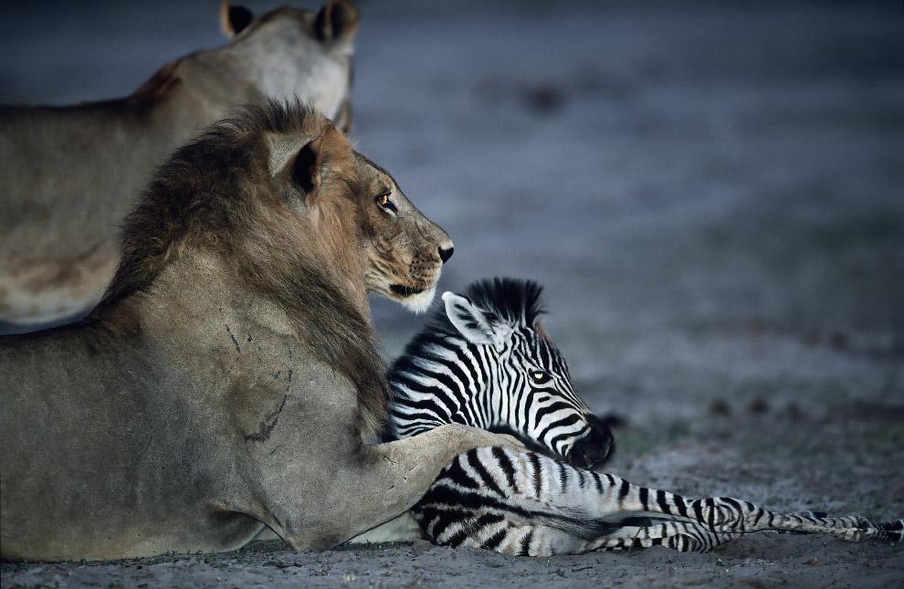 Этого жеребенка зебры поймали львы