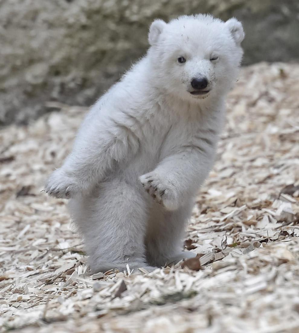 Белый медвежонок. Игривое настроение