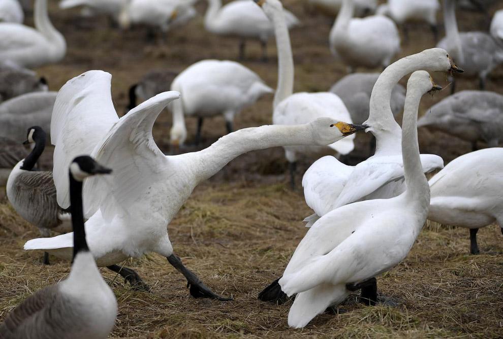 Лебеди. Драчливость