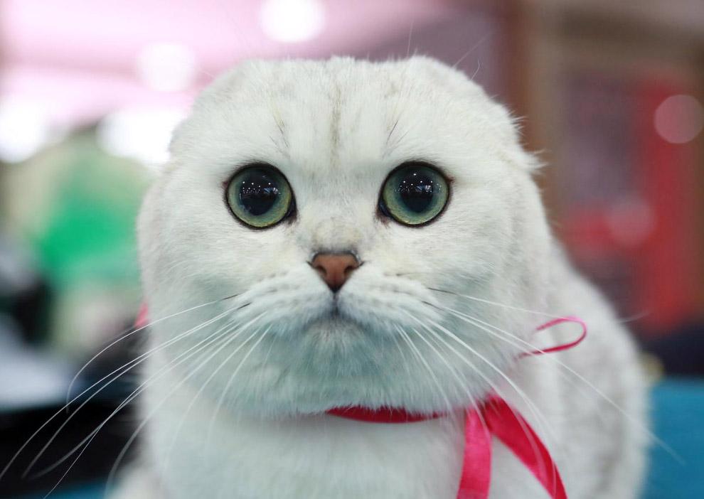 Шотландская вислоухая кошка. Сосредоточенность