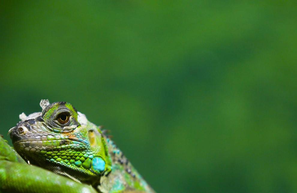 Зеленая игуана. Безразличие