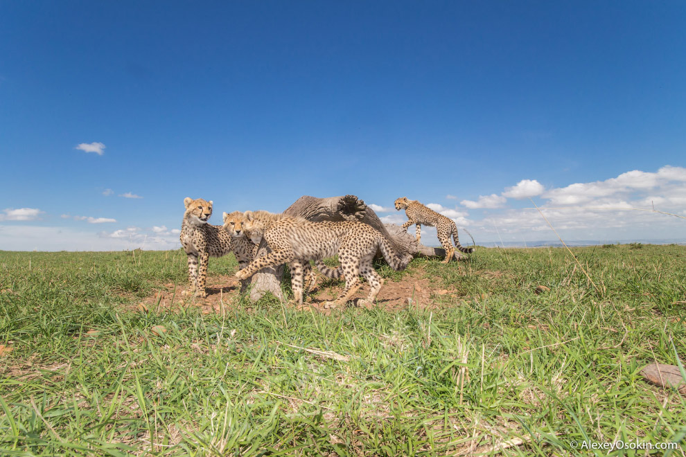 10+ фактов о гепардах