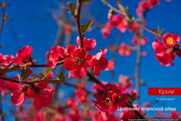 В Крыму зацвела японская айва. Потрясающе красиво