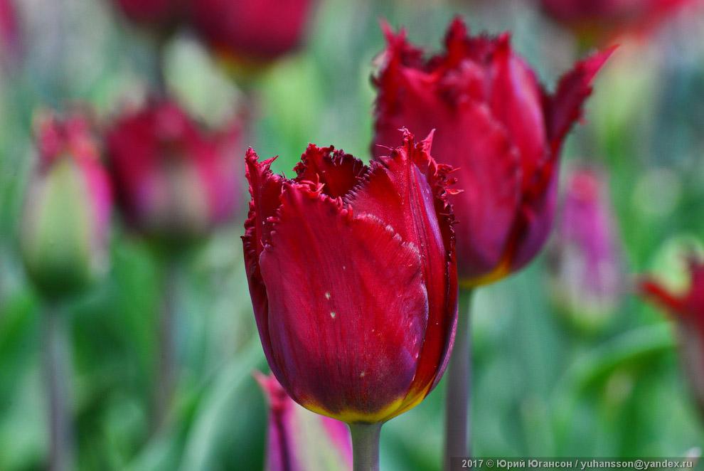 Парад тюльпанов в Никитском ботсаду Крыма