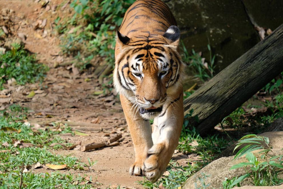 Малайский тигр (Panthera tigris jacksoni)