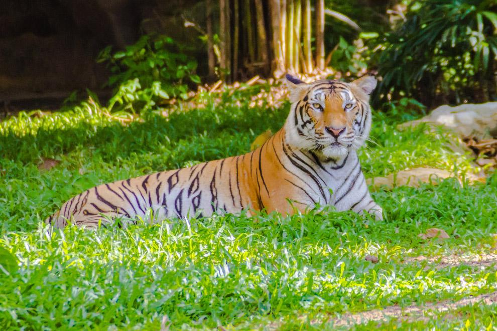 Индокитайский тигр (Panthera tigris corbetti)
