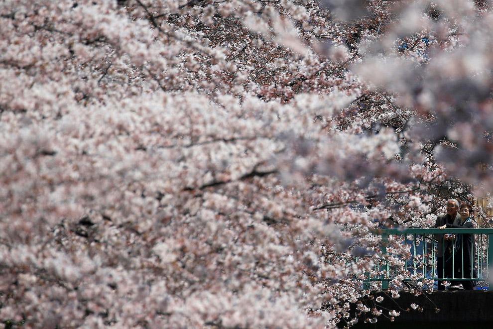 А в Японии есть свои цветы — цветущая сакура, Токио