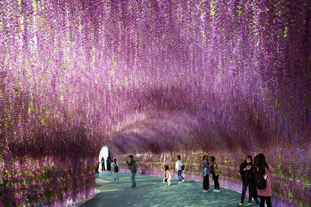 200-метровый коридор, покрытый цветами лаванды, в Шэньяне, Китай
