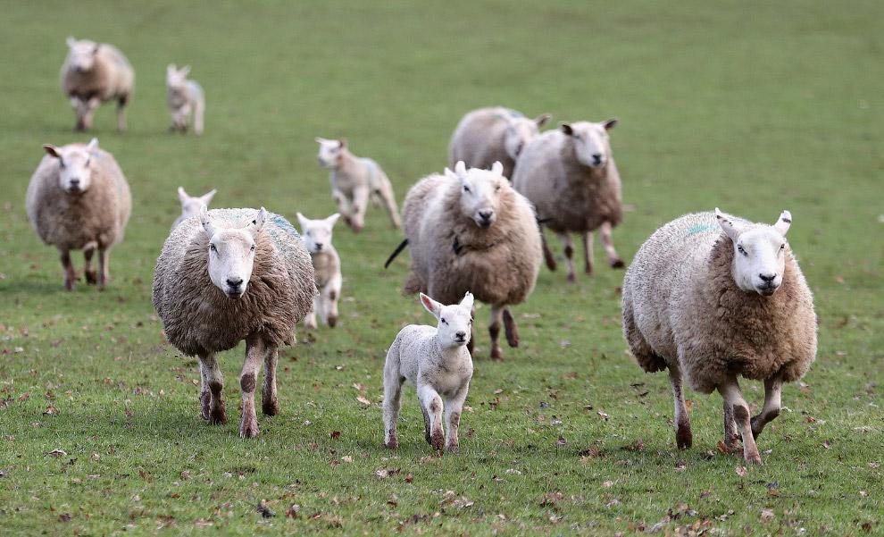 Ягнята соскучились по зеленым полям, Юго-Восточный Уэльс, Англия