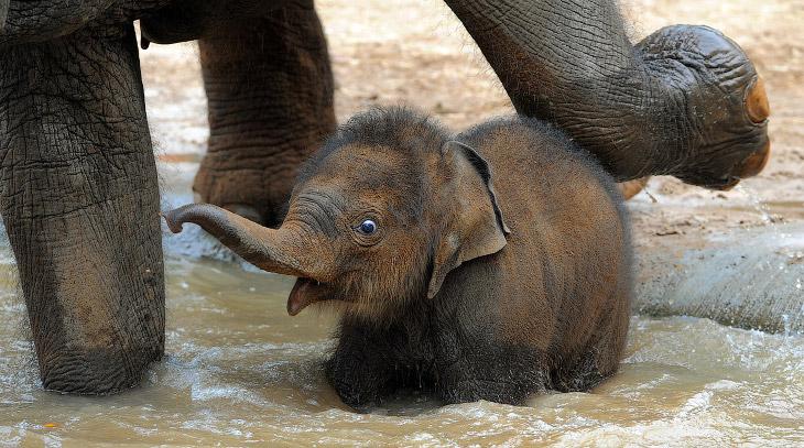 Азиатский слоненок