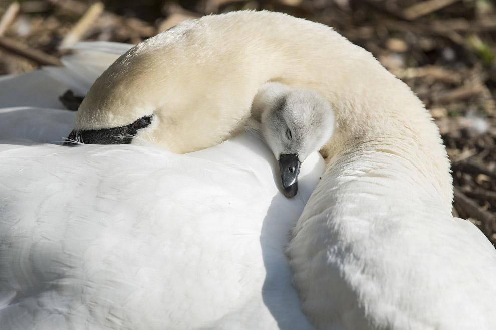Лебеди на Эйвоне, Англия