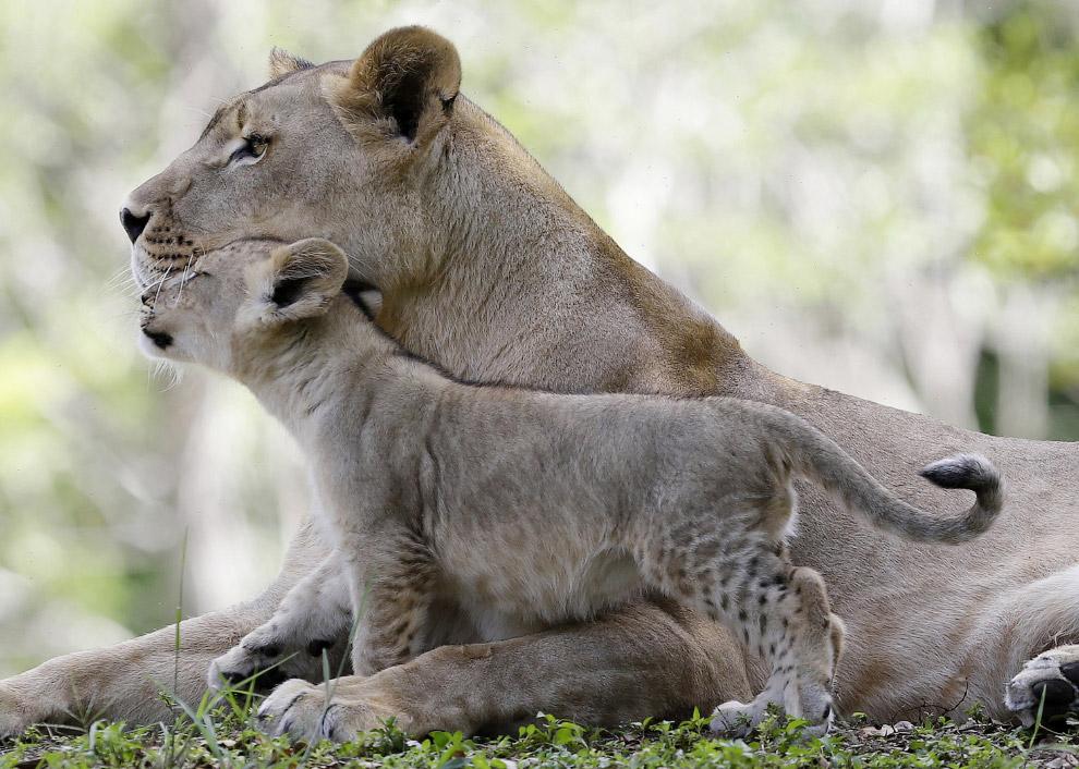 Семья львов в зоопарке Майами