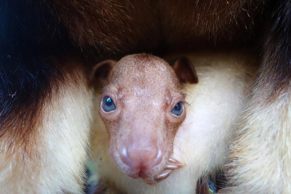 Этот красавец — кенгуру Гудфеллоу — крупный древесный кенгуру, эндемик Новой Гвинеи