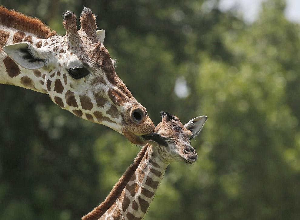Жирафы в зоопарке Оклахома-Сити