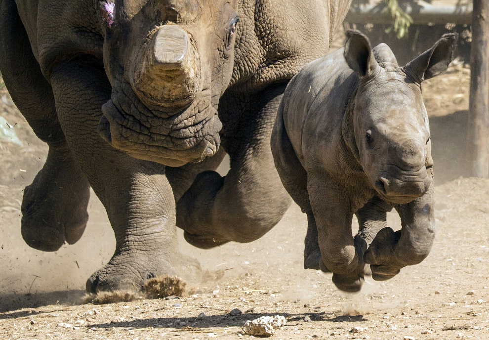 Белый носорожек и грозная мама