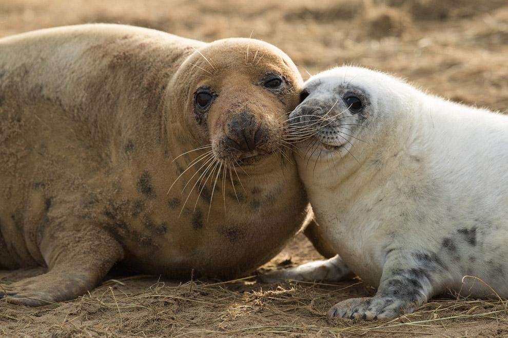 Тюлениха и тюлененок