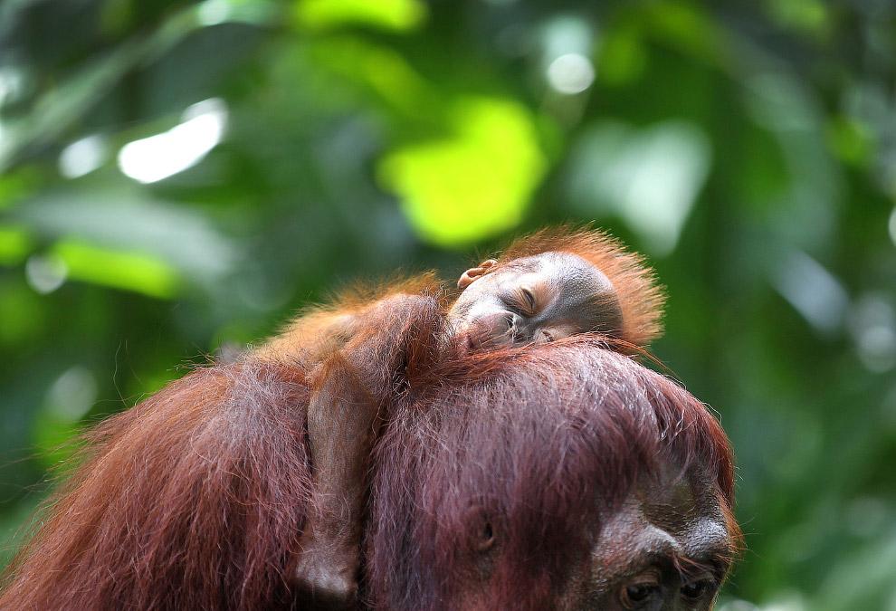 Орангутанги на Борнео