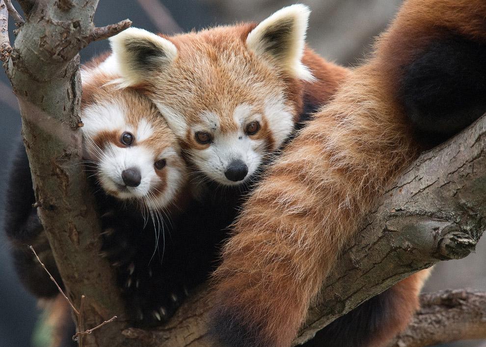 4-летная малая панда с мамой